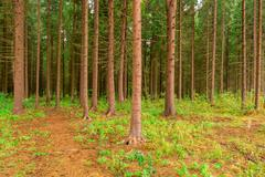 dense coniferous forest photographed in summer day - stock photo