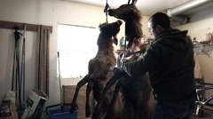 Man skins an elk to butcher it for the meat Stock Footage