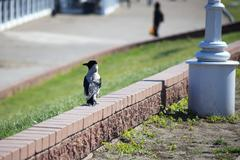 Hooded Crow Kuvituskuvat