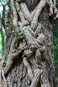 tree trunk entwined with ivy - stock photo