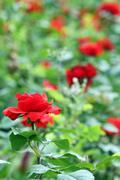Red roses garden spring season Stock Photos