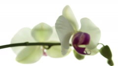 White orchid flower isolated tracking Stock Footage