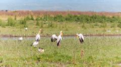 White pelicans. Kenya Stock Photos