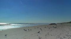 Shore birds play along ocean. Early morning Stock Footage
