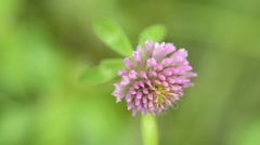 Red clover - stock footage