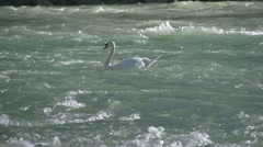 Swan swimm in the river in slow motion Stock Footage