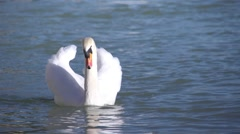 Swimming swan lit  by sunlight in close up Stock Footage