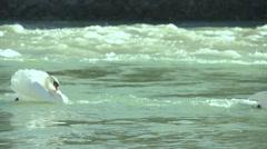 Swan swim in raging river in slow motion Stock Footage