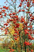 large red rowan - stock photo