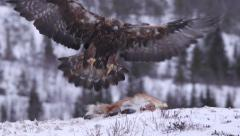 Golden eagle in flight landing snow scenery winter - stock footage