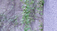 Vines on a wall Stock Footage