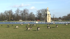 Canada geese feeding beside the Diana Fountain pond in Bushy Park, London, UK. - stock footage