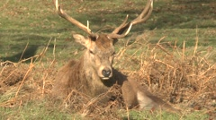 A large male stag red deer resting in Bushy Park, London, UK. Stock Footage