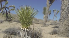 Yucca Plant in Joshua Tree National Park Stock Footage