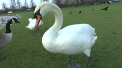 Agressive swan sitting beside the Diana Fountain pond in Bushy Park, London, UK. Stock Footage