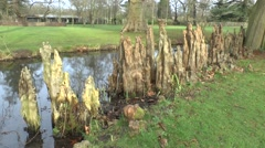 Swamp cypress tree roots (taxodium distichum) in Bushy Park, L Stock Footage