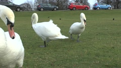 Swans sitting beside the Diana Fountain pond in Bushy Park, London, UK. - stock footage