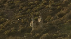 An aerial of wild horses running. - stock footage