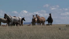 Wild horses graze in open rangeland in Wyoming. Stock Footage