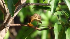 Weaver Bird Breakfast 3 Stock Footage