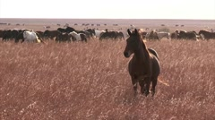 Wild horses running. - stock footage