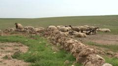Sheep Graze Stock Footage