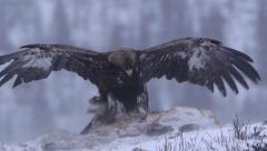 Golden Eagle on bait struggle in strong wind cold ice winter scenery Stock Footage