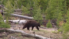 A black bear walks through a forest. Stock Footage