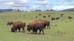 Bison buffalo graze and walk in Yellowstone National Park in summer. Stock Footage