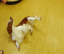 Dog Tricks Roll Over Stock Footage
