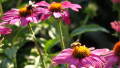 Purple cone-flowers ( echinacea purpurea ) with two bee - stock footage