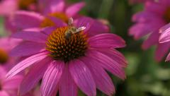 Purple cone-flower ( echinacea purpurea ) with a bee close-up Stock Footage