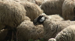 Sheep are Together Stock Footage