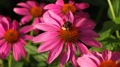 Purple cone-flower ( echinacea purpurea ) with a bumble bee Stock Footage