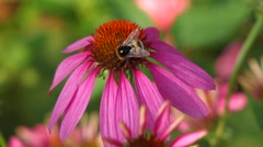 Purple cone-flower ( echinacea purpurea ) with a bumble bee - stock footage