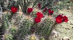 Cactus flowers bloom. Stock Footage