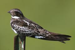 common nighthawk (chordeiles minor) on a post - stock photo