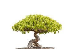 bonsai on white - stock photo