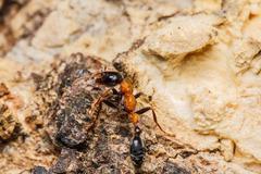 black worker ants - stock photo