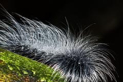hairy caterpillars - stock photo