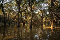 Stock Photo of tonle sap mangrove forest