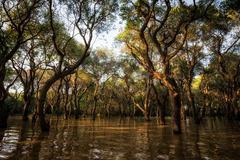tonle sap mangrove forest - stock photo