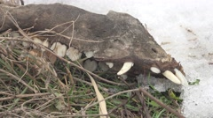 Skull of a dog on the dry grass, winter, snow, environmental disaster Stock Footage