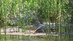 Wild duck Krka river Stock Footage