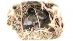 Cute wild baby bunnies cuddling in a rabbit hole. Close-up. Stock Footage