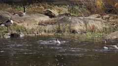 Canadian goose baths in river Stock Footage