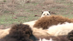 Dog And Sheep Stock Footage