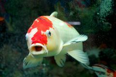 Carp in the home aquarium Stock Photos