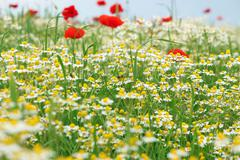 Bees chamomile and poppy flower meadow spring season Stock Photos