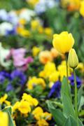 Tulip flowers garden spring season Stock Photos